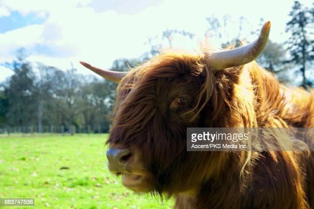Scottish highland cow, close up