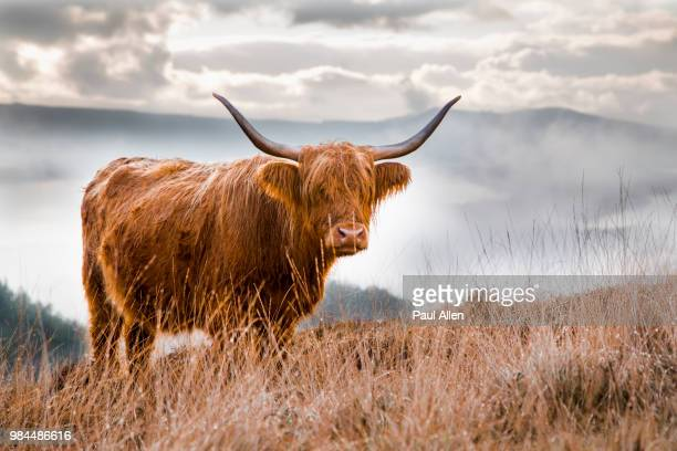 a scottish highland cow in scotland. - highland cattle stock photos and pictures