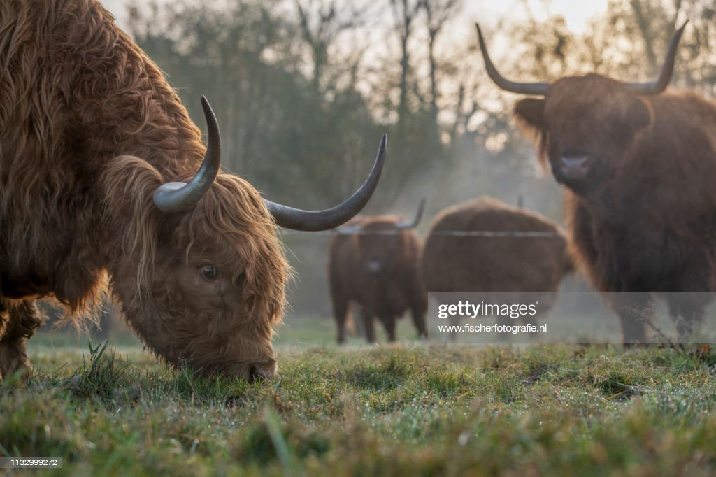Scottish Highland Cows in the morning : Stock Photo