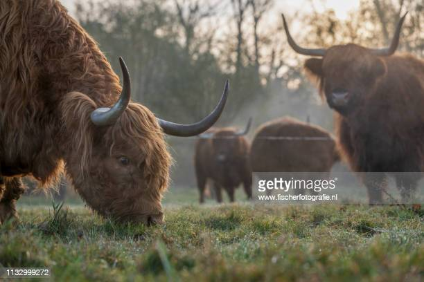 scottish highland cows in the morning - zonsopgang stock pictures, royalty-free photos & images