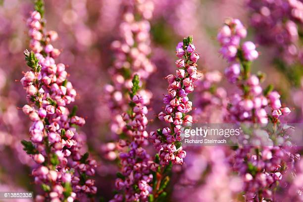 Scottish Highland Heather