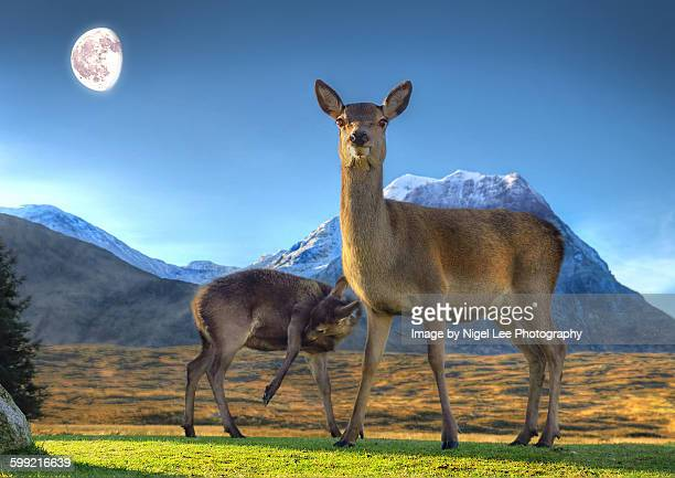 scottish highland red deer - female animal stock pictures, royalty-free photos & images