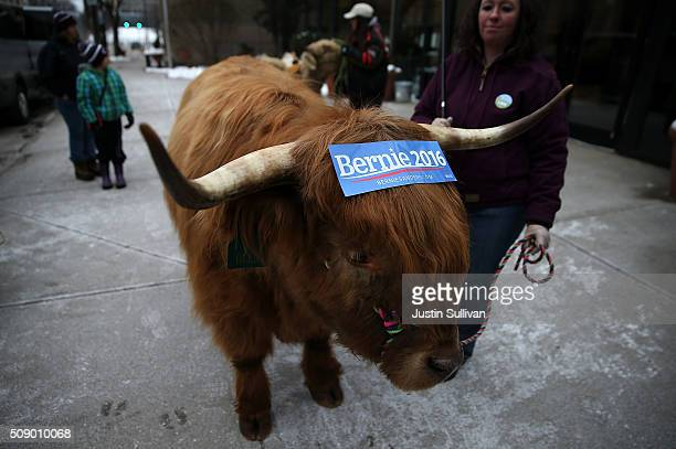 Scottish Highlander wears a campaign sticker for US Sen Bernie Sanders on his its head on February 8 2016 in Manchester New Hampshire Melissa...