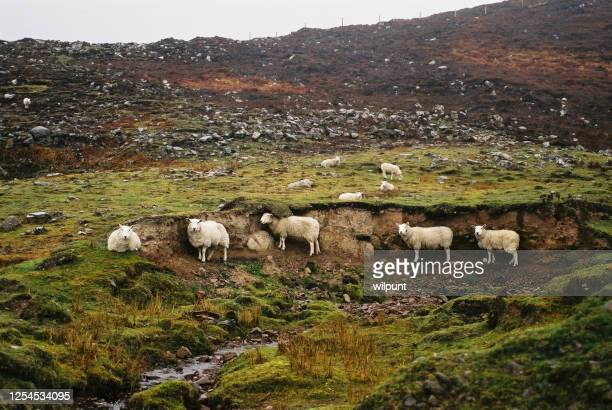 scottish highlands sheep sheltering from the rain - cashmere stock pictures, royalty-free photos & images