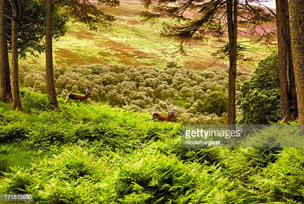 scottish highlands: two stags in evening light - buck stock photos and pictures