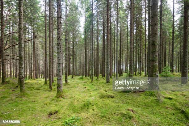scottish pine forest near loch ness, scotland, 2017 - scottish highlands stock pictures, royalty-free photos & images
