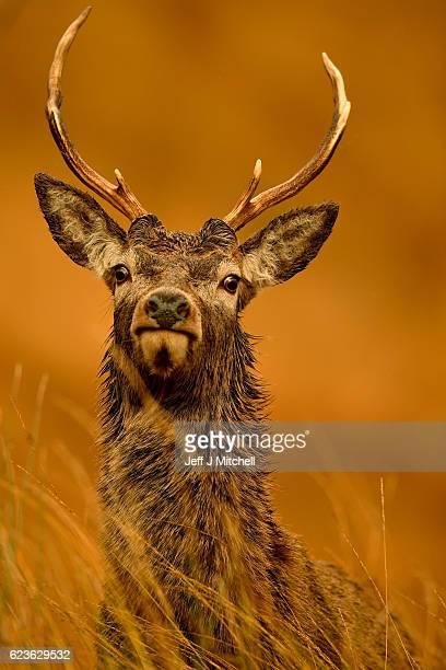 Scottish red deer graze in Glen Etive following the end of the rutting season on Novemebr 16, 2016 in Glen Etive,Scotland. The rutting season sees...