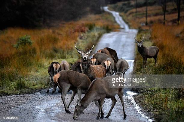 Scottish red deer graze on the road in Glen Etive following the end of the rutting season on Novemebr 16, 2016 in Glen Etive,Scotland. The rutting...
