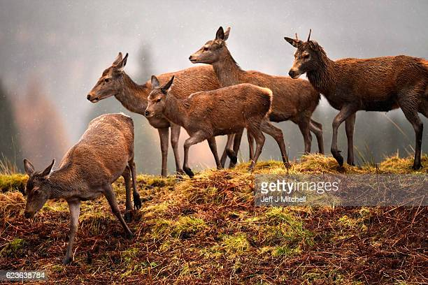 Scottish red deer graze on the road in Glen Etive following the end of the rutting season on Novemebr 16 2016 in Glen EtiveScotland The rutting...