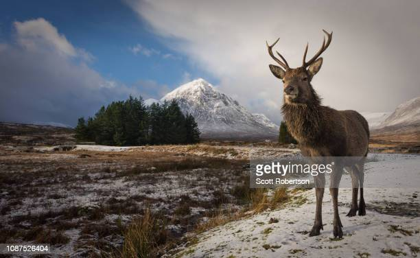 a scottish red deer in winter conditions. - アカシカ ストックフォトと画像