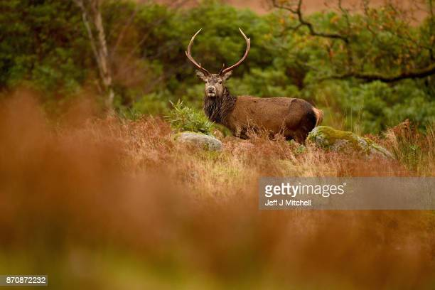 Scottish red deer stag grazes in Glen Etive following the end of the rutting season on November 6 2017 in Glen Etive Scotland The rutting season sees...