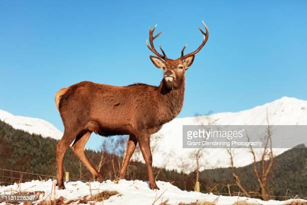 Scottish Red Deer Stag