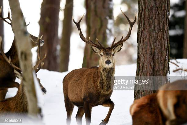 Scottish red deer stags are seen in the snow on February 11, 2021 in Braemar, Scotland. A low of -22.9C was recorded overnight in the Scottish...
