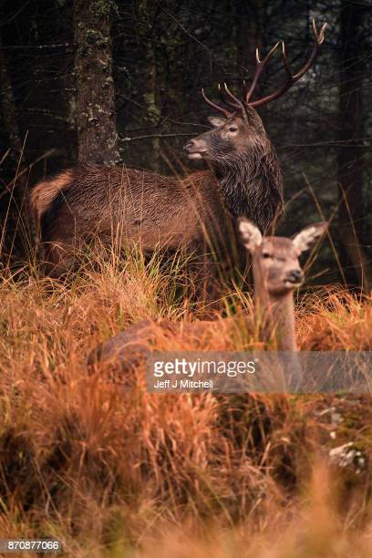 Scottish red deer stags graze in Glen Etive following the end of the rutting season on November 6 2017 in Glen Etive Scotland The rutting season sees...