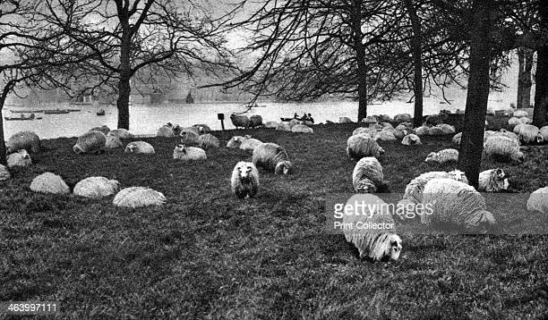 Scottish sheep by the Serpentine Hyde Park London 19261927 Illustration from Wonderful London edited by Arthur St John Adcock Volume I published by...