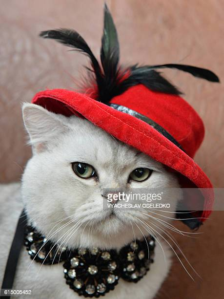 A Scottish shorthair cat dressed with a red hat is pictured during a cat exhibition in Bishkek on October 16 2016 Cat lovers from Kyrgyzstan...