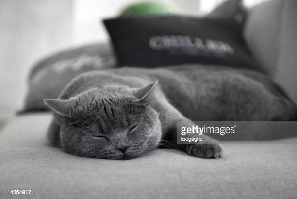 scottish straight cat sleeping - pampered pets stock pictures, royalty-free photos & images