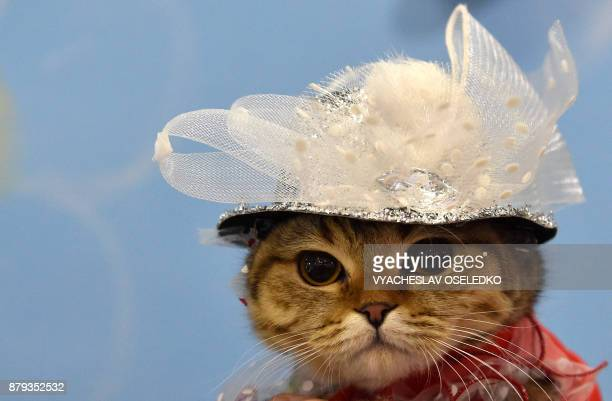 A Scottish Straight cat wears a hat during an international cat exhibition in Bishkek on November 26 2017 / AFP PHOTO / VYACHESLAV OSELEDKO