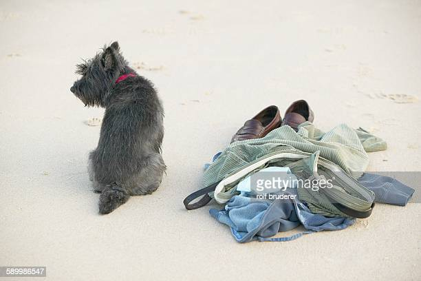 scottish terrier and skinney dippers pile of clothes - skinny dipping stock photos and pictures