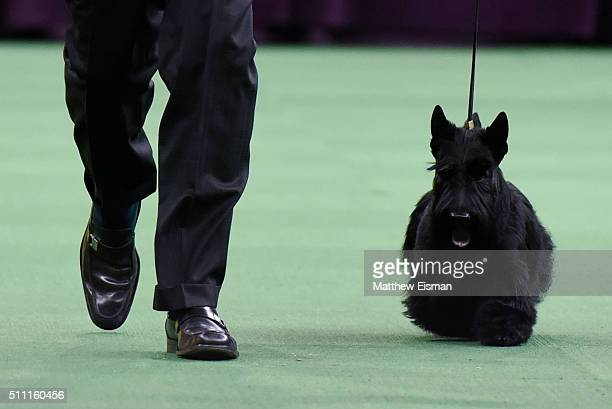 A Scottish Terrier competes in the Terrier Group during the second day of competition at the 140th Annual Westminster Kennel Club Dog Show at Madison...