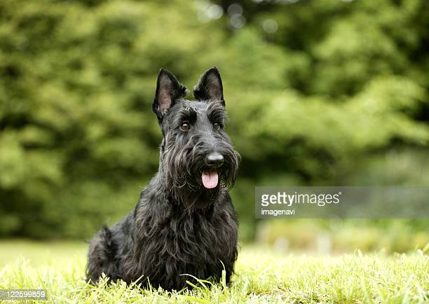 Scottish Terrier Stock Pictures