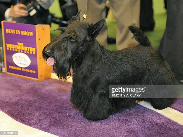 Scottish Terrier Sadie poses for the press after winning Best in Show at the 134th Westminster Kennel Club Dog Show at Madison Square Garden in New...