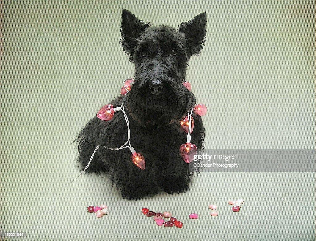 Scottish Terrier Valentine! : Stock Photo