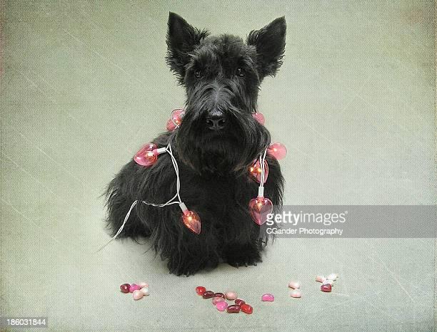 Scottish Terrier Valentine!