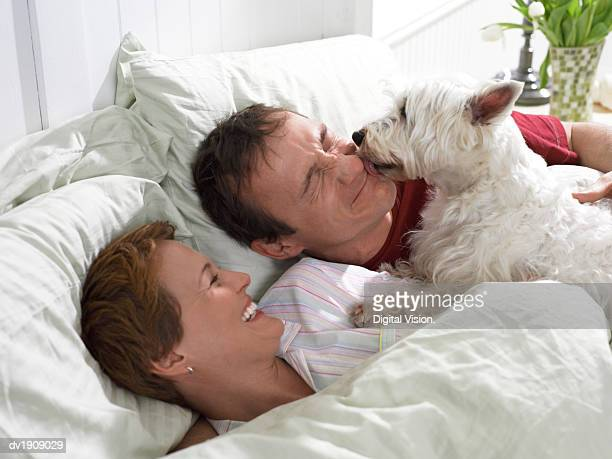 Scottish Terrier Wakes up a Couple in Bed, Licking the Man's Face as he Grimaces, His Wife Laughing