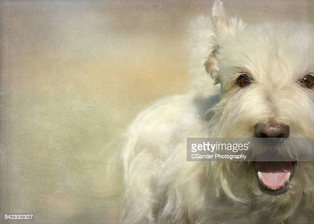 scottish terrier wheaten - soft coated wheaten terrier stock photos and pictures