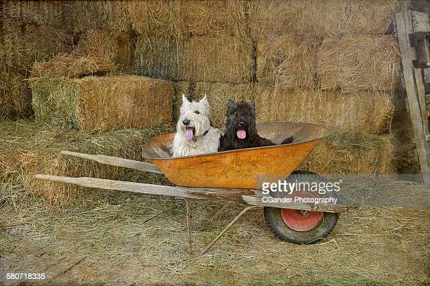 Scottish terriers on the farm