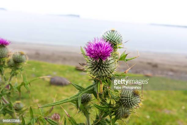 scottish thistle - uncultivated stock pictures, royalty-free photos & images