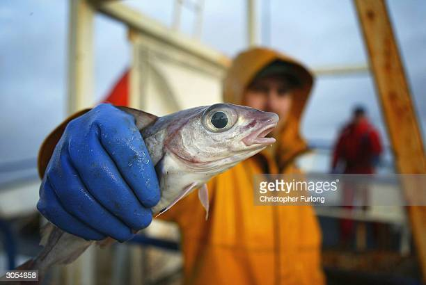 Scottish trawler man aboard the trawler Carina holds out a haddock part of the catch caught some 70 miles off the North coast of Scotland in The...