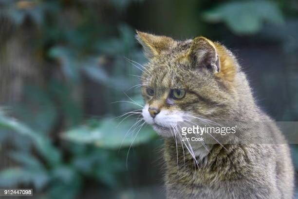 scottish wildcat - wildlife reserve stock pictures, royalty-free photos & images