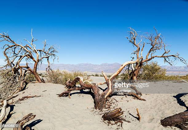 Scraggly tree in the sand at the Mesquite Flat Sand Dunes of Death Valley National Park in California