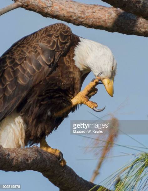 Scratching Bald Eagle