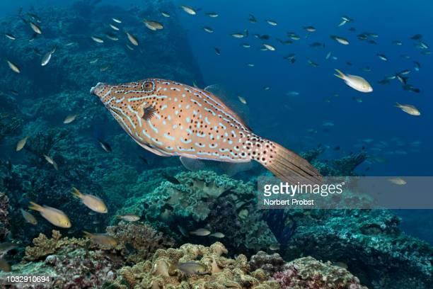 scrawled filefish (aluterus scriptus) floats over coral reef, various damselfish (pomacentridae), daymaniyat islands nature reserve, indian ocean, khawr suwasi, al-batina province, oman - sea life stock pictures, royalty-free photos & images