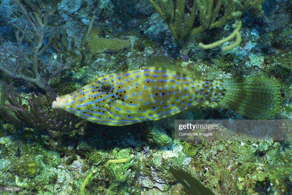 Scrawled filefish : Stockfoto