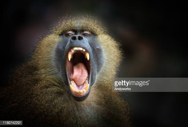 screaming guinea baboon - baboon stock pictures, royalty-free photos & images