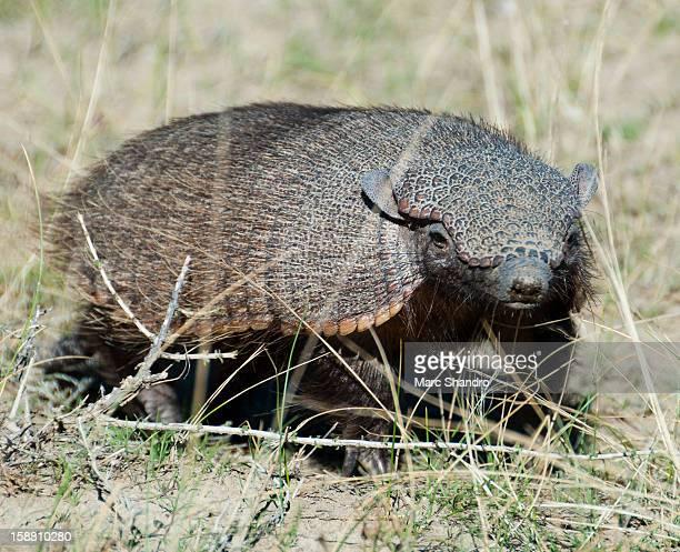 Screaming Hairy Armadillo (Chaetophractus Villosus