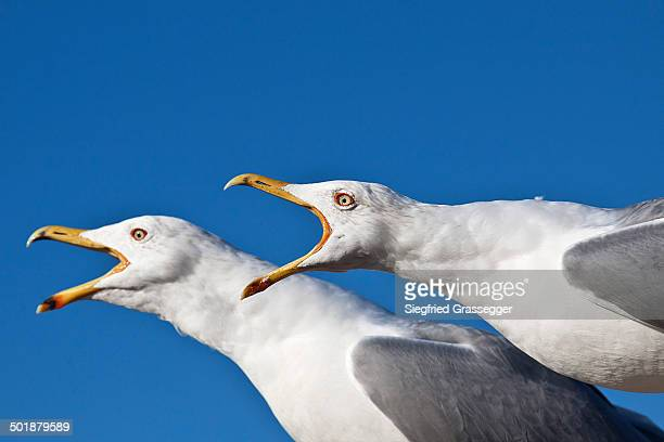 screaming yellow-legged gulls -larus michahellis-, istanbul, turkey - animal call stock pictures, royalty-free photos & images