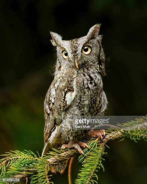 Screech Owl perched