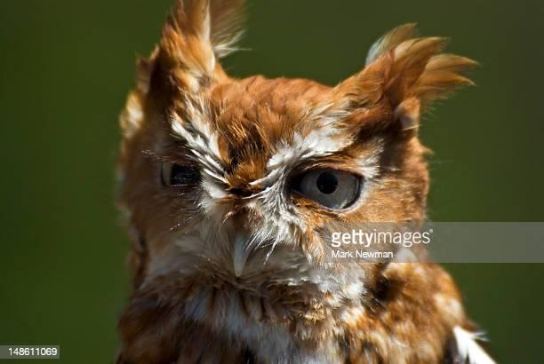 Screech owl (megascops kennicottii).