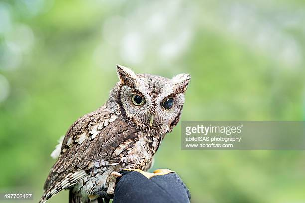 Screech owl with blown pupil