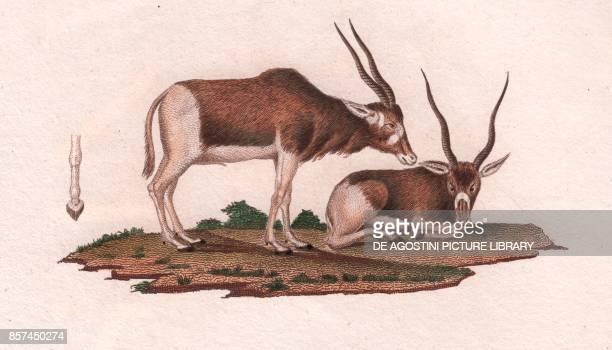 Screwhorn antelope or Addax colour copper engraving retouched in watercolour 9x15 cm from Dizionario delle scienze naturali compilato da vari...