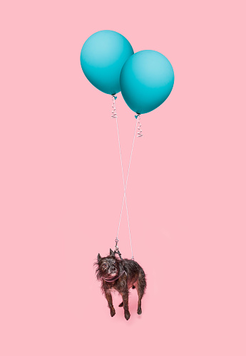 Scruffy dog floating by 2 blue balloons, on pink background. - gettyimageskorea