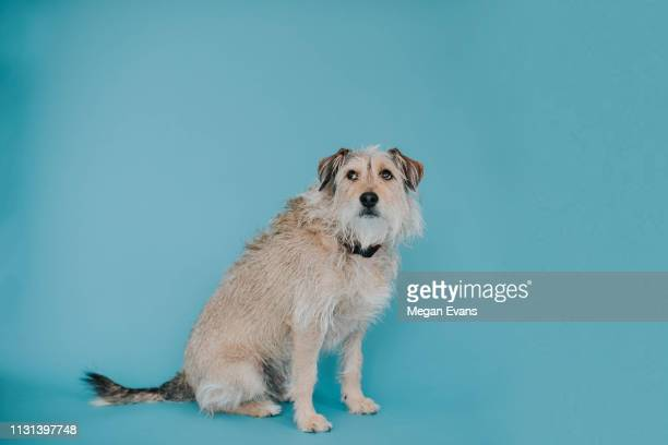 Scruffy Dog on Blue Backdrop