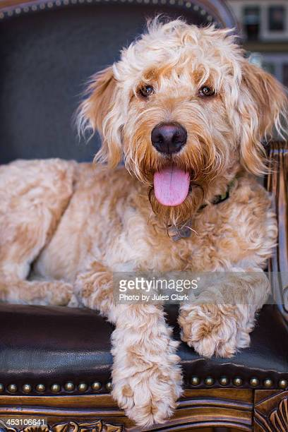 scruffy puppy posing on leather chair - goldendoodle stock photos and pictures