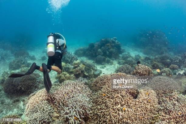 scuba diver admiring coral reef at apo island - indo pacific ocean stock pictures, royalty-free photos & images
