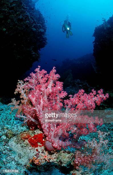 Scuba diver and a coral reef, Maldive Islands, Indian Ocean